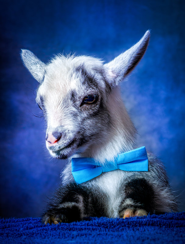 7ad86f4e50b Party Goats LA - Goat Yoga in Los Angeles. Goats for parties